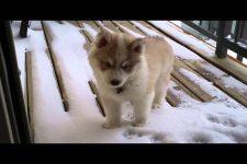 生まれて初めての雪!コーギーの仔犬ちゃんが終始可愛い♡