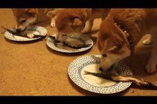 【骨までパクリ♪】4匹の柴犬の「サンマ」の食べっぷりが気持ちいい!